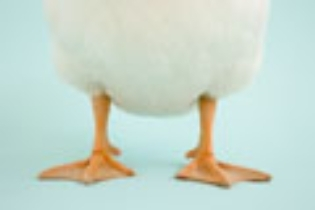 Humor.  Photograph containing a rather silly view of a duck